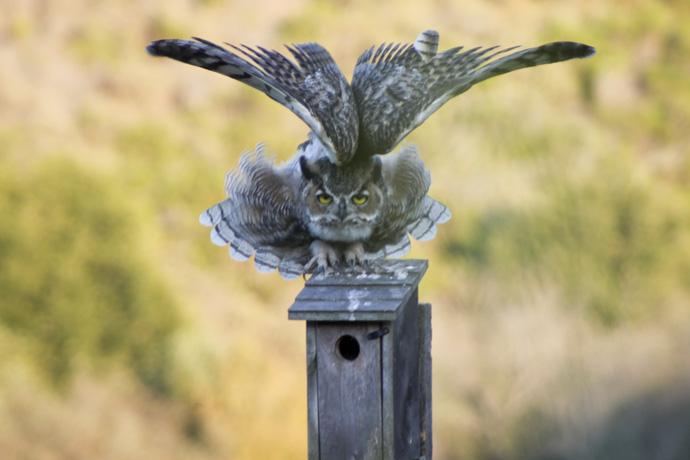 owl wingspan