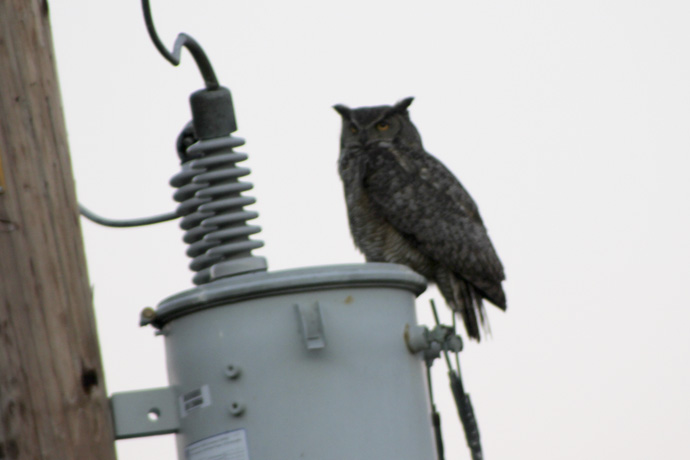 owl on power pole